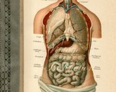 1900 Human Anatomy Print, Chest and Abdominal Organs