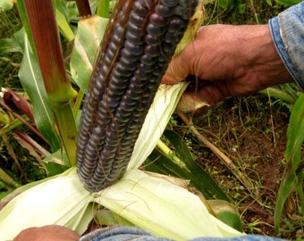 35 Giant Blue McCormack Corn-1302