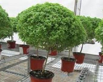 5 Jerusalem Thorn Bush Seeds-1120A