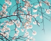 Flower Photography - fine art photo flowering white crabapple tree tiffany blue teal sky photograph wall art home decor