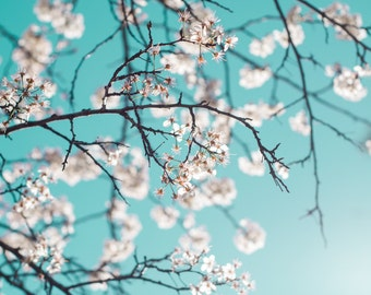 Flower Photography - fine art photo flowering white crabapple tree tiffany blue teal sky photograph wall art home decor
