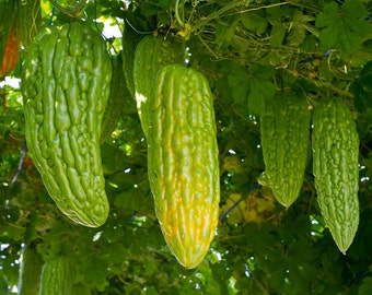 Organic Heirloom Chinese Bitter Gourd 50 seeds Bitter Melon bitter Squash Momordica charantia Edible Vegetable Seeds Green F99
