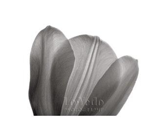 White Tulip Photo, Translucent Petals, Black and White Photo, Nature Photography, Wall Art, Home Decor