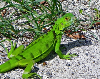 Iguana Print / Lizard / Reptile / Photograph / Free US Shipping MVMayoPhotography