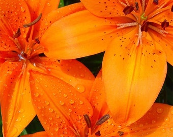 Orange Lily 2 -- Fine Art Floral Photography Print -- Photo, Home Decor, Flowers, Art