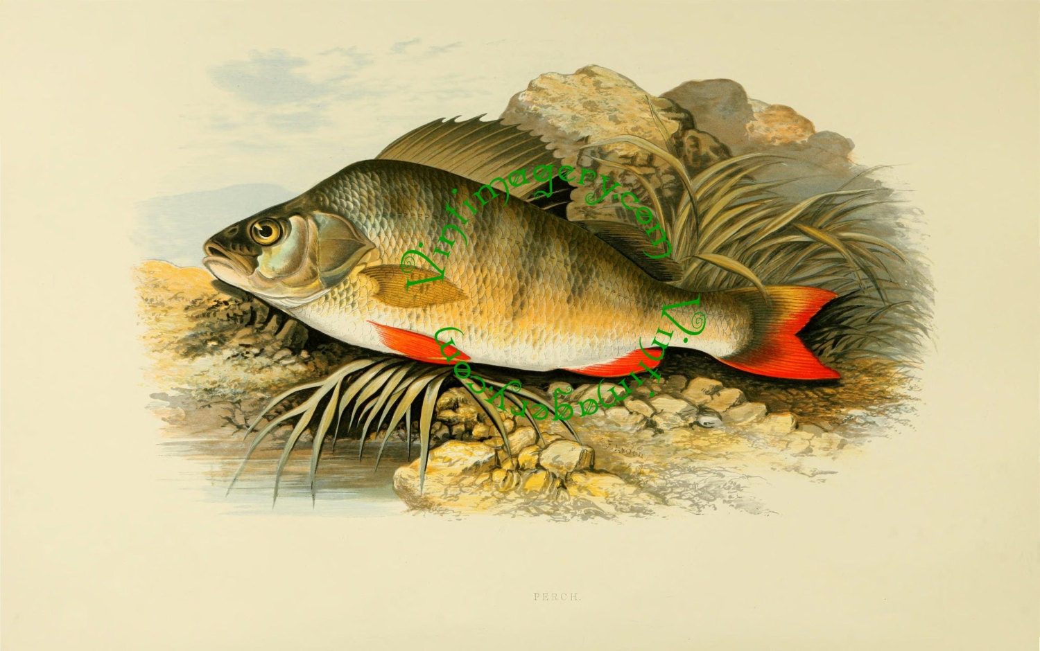 Perch from british fresh water fish by rev william houghton for Sweet water fish