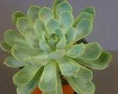 Succulent Plant -Echeveria Mazarine