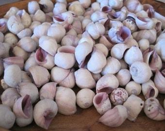 Cebu Beauty Shells ( 25  ) - Coastal Home Decor - Seashells - Seashell Supply - Beach Wedding