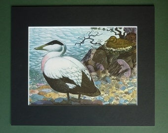 Vintage Common Eider Duck Print - Seabird Nest - Ornithology Print - Sea Bird Print - Natural History Print - Nature Illustration - Sea Duck