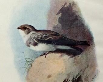 Sand Martin - Vintage Bird Illustration - Bird Print by A. Thorburn, Bird PIcture