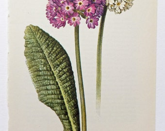 Primula Denticulata Picture. Primrose, Vintage Flower Print. Botanical Picture. Paper Ephemera. Home Decor