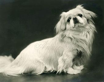 White Pekingese Dog - Instant Digital Download Photo D170A