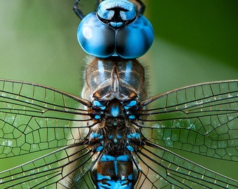 Dragonfly Image, Nature Photo, Insect Photo 5x7 to 13x19,