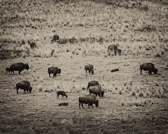 vintage like bison herd nature photo wildlife print nature. Black Bedroom Furniture Sets. Home Design Ideas