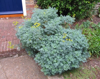 0.3g (approx. 150)  common rue seeds RUTA GRAVEOLENS A Homeopathic First Aid Remedy <Fresh seeds - Best before 12.2019!>