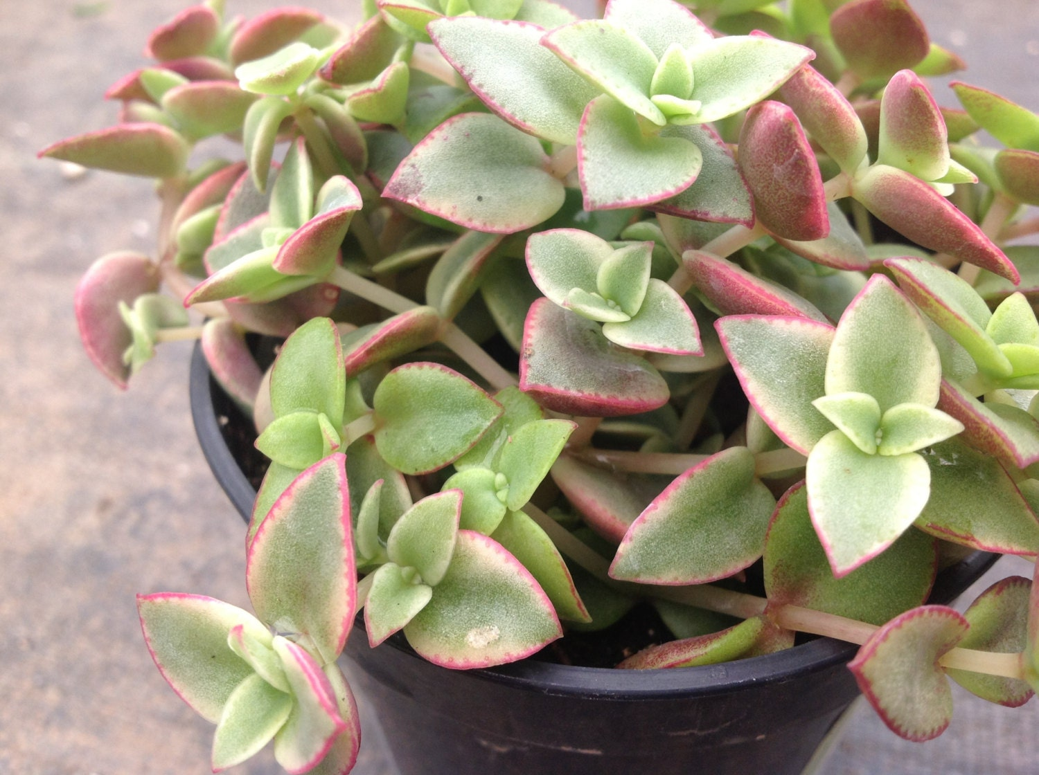 succulent crassula calico kitten or crassula marginalis rubra