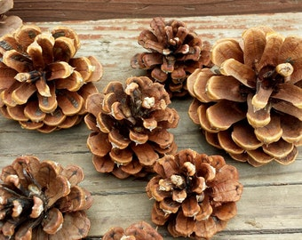 Beautiful Natural Pinecones for Crafts & Decor/ Large 5lb box, various size Ponderosa Pine Cones/ Christmas Holidays