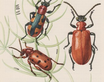 1957 Leaf Beetle Antique Print, Insect Vintage Lithograph, Chrysomelidae Entomology, Asparagus Beetle, Shining Leaf Beetle, Lilioceris lilii