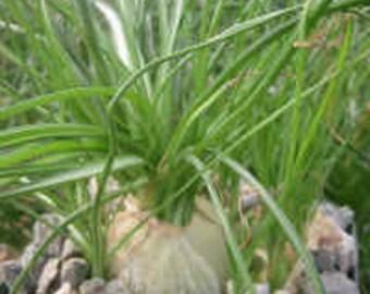 Albuca Succulent Plant