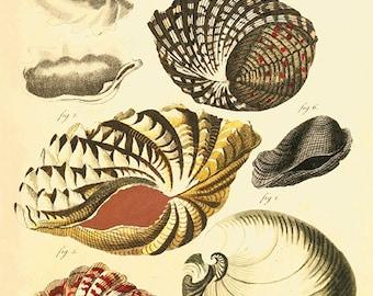 Sea shell art print antique prints sea art print Nautical art print Ocean Decor beach art print ocean print old prints Natural History art
