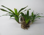 Bromeliad Neo Hybrid Variegated Mounted to Raw Cork