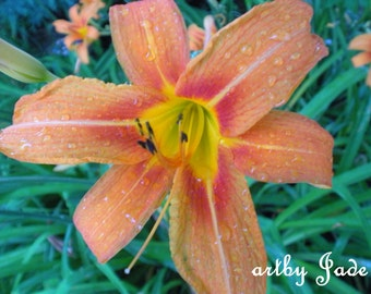 """8x10"""" Lily Nature Photograph titled, """"Drop of a Lily"""""""