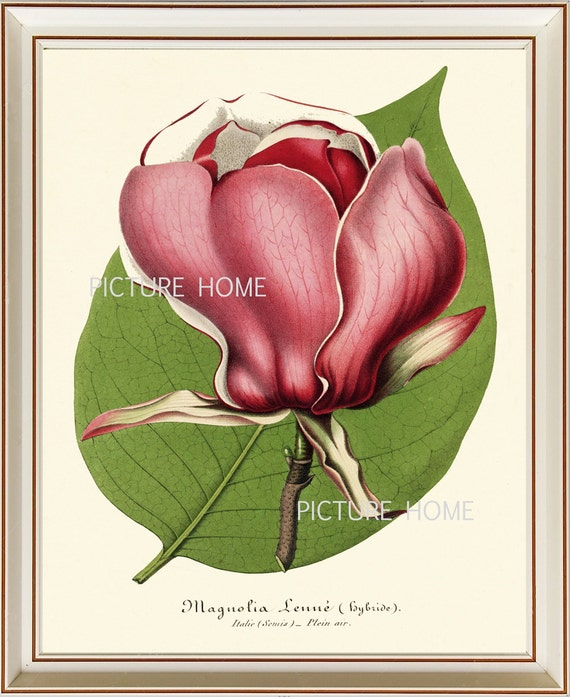 Botanical Print Magnolia H24 Beautiful 8x10 Antique Pink Large