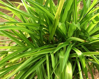 """Solid Green SPIDER / AIRPLANE Plant - rooted Live Starter Size 10"""" or more"""