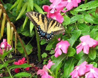 A beautiful Swallowtail butterfly rests on a flower.