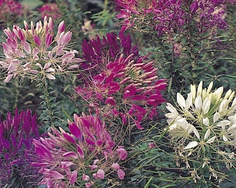 250 *HEIRLOOM* Mixed Cleome (Spider Plant) Seeds