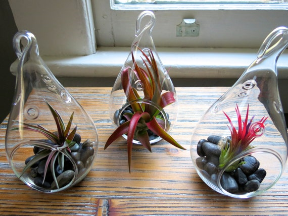 Hanging Air Plant Terrariums The 3 Red Hots Wonderful