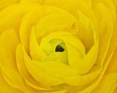 """Original Oil Painting, Flower - Yellow Ranunculus (18"""" x 18"""" One of a Series)"""