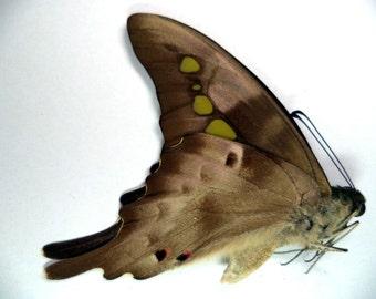 Unmounted Graphium Empedovan From W. Java (Indonesia)