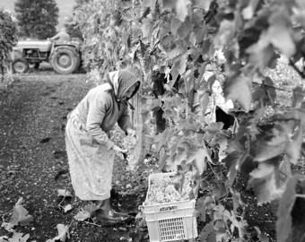 Vineyard Harvest II