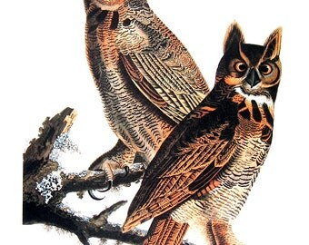 Great Horned Owl 1979 Vintage Audubon Bird Print Book Plate