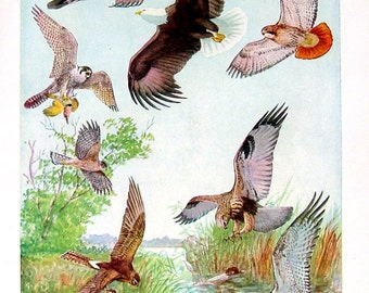 Turkey Vulture, Bald Eagle, Cooper's Hawk, Sharp Shinned Hawk - Bird Print - 1936 Vintage Book Page - 8 x 11