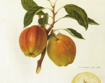 Vintage Fruit Print - Apple Print - Cornish July Flower Apple - Hookers Finest Fruits - Vintage Kitchen Wall Art - William Hooker - 1800