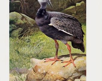 1910 Antique TURKEY print, wild crested turkey bird, original antique circa 100 years old print