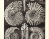 1902 Ammonites, Cardioceras, Ammonoidea, Prehistoric Fossils Vintage Print to Frame