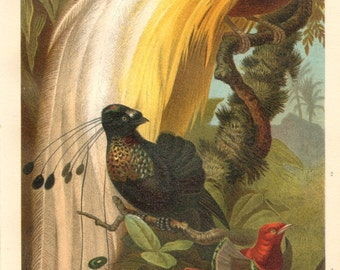 1892 King Bird of Paradise, Greater Bird-of-paradise, Six-shafted Bird Of Paradise Original Antique Chromolithograph to Frame