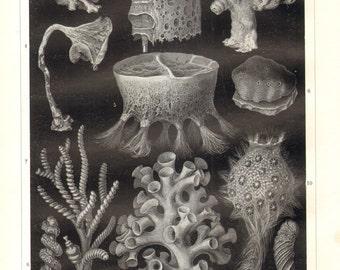 1906 Sponges of All Kinds, Glass Sponges, Hexactinellid Sponges, Calcareous Sponges Original Antique Print