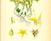 Antique 1905 Botanical Image Gul Fetknopp (Yellow stonecrop) 269