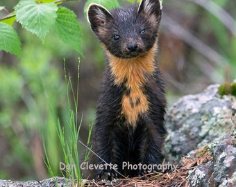 Pine Marten Photograph, Animal Photography, Wildlife Photography
