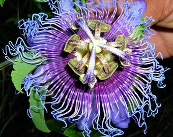 Purple Passion Flower, 10 seeds, fancy flowers, delicious fruit, robust vine, Passiflora edulis, perennial, zones 9 to 11, easy to grow