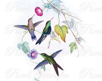 HUMMINGBIRDS Instant Download JPEG Digital Downloads, morning glory colibri small birds Wedding Clipart 250