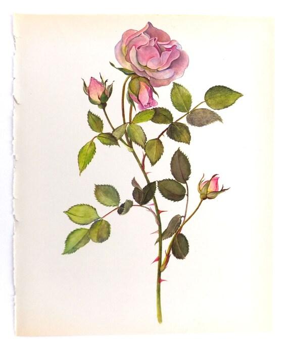 Vintage Pink Roses Picture Botanical Print Fortschritt Rose