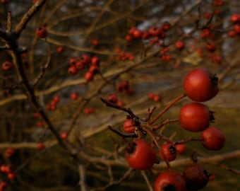 Nature Photography, Dark, Winter, Crimson, Scarlet, Pacific Northwest, fPOE, Red Berry Tree