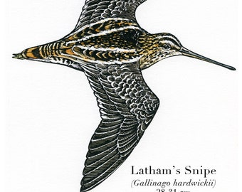 Bird illustration - Latham's Snipe - bird art, print of original scratchboard artwork