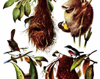 Birds, Birds Nests: beautiful vintage illustrations, giclee print  8.5 in x 11 in.