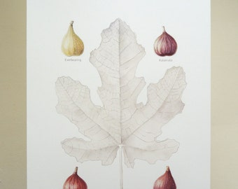 Fig Botanical original illustration reproduction gardening art print spring home decor